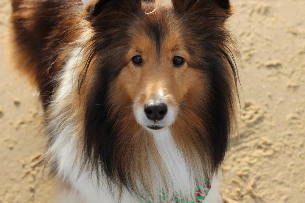 sable sheltie www.allthesparkle.com